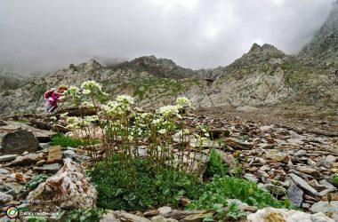 Saxifraga Paniculata Vilminore di Scalve